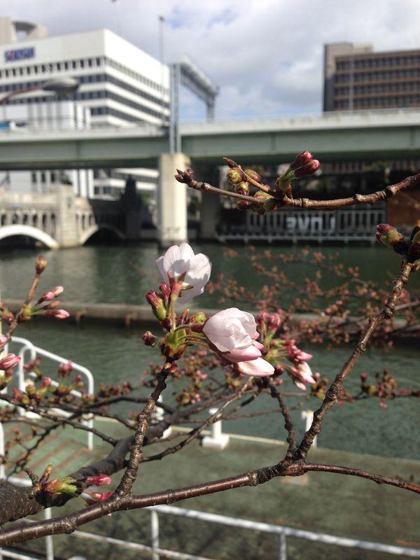 大阪地方裁判所南の堂島川の桜